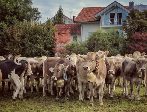 Almabtrieb & Viehscheid- The Autumn Cow Parade in the Alps