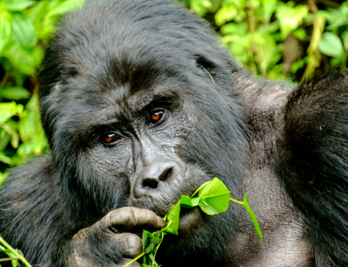 Mountain Gorilla Trekking: Sustainable Ecotourism in Uganda and DR Congo